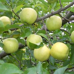 Alma fajta, Gibson Golden Delicious (Smoothee)