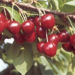 Cseresznye fajta, Annus