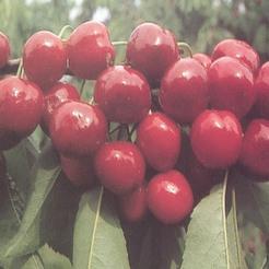 Cseresznye fajta, Bigarreau Burlat