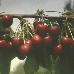 Cseresznye fajta, Germersdorfi óriás klónok