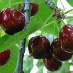 Cseresznye fajta, Hedelfingeni óriás