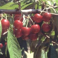 Cseresznye fajta, Krupnoplodnaja