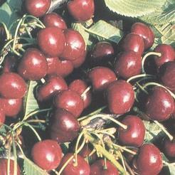 Cseresznye fajta, Solymári gömbölyű