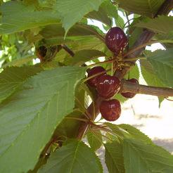 Cseresznye fajta, Szomolyai fekete