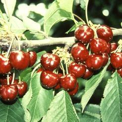 Cseresznye fajta, Tünde