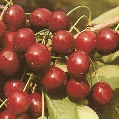 Cseresznye fajta, Valerij Cskalov