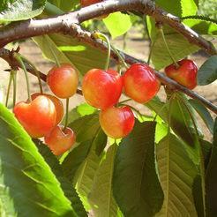 Cseresznye fajta, Vega