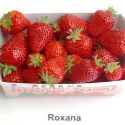 Eper Földieper fajta, Roxana